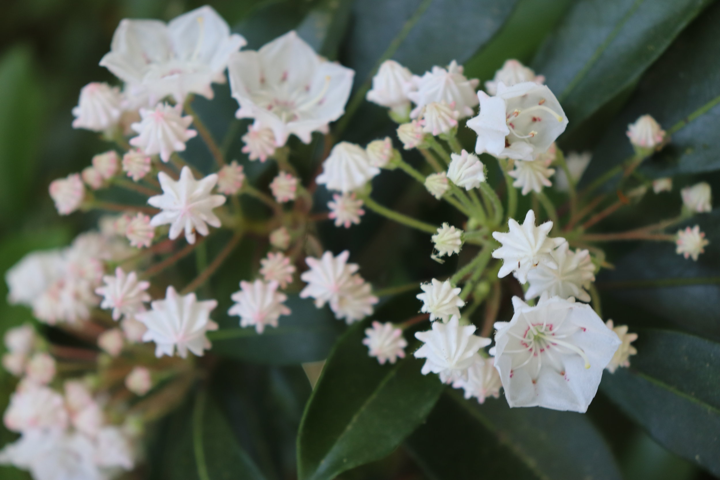 Mountain-Laurel-Blosoms-Western-North-Carolina.jpg
