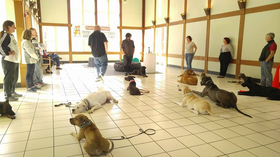 Many of these dogs were behavior rehabilitation students, meaning they had either fear/anxiety, dog or human aggression. They are now able to comfortably be around people and dogs without reacting. Addressing the root behavior issue first is a must before working on basic obedience.
