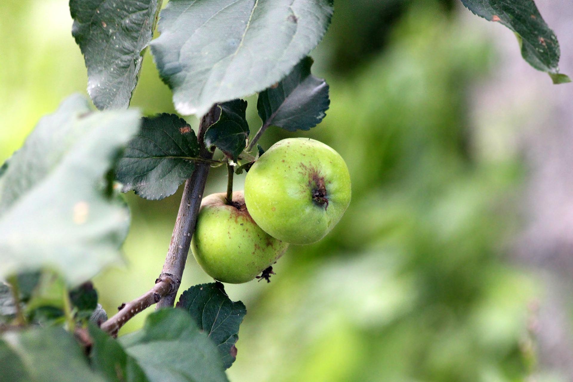 apples-3077619_1920.jpg