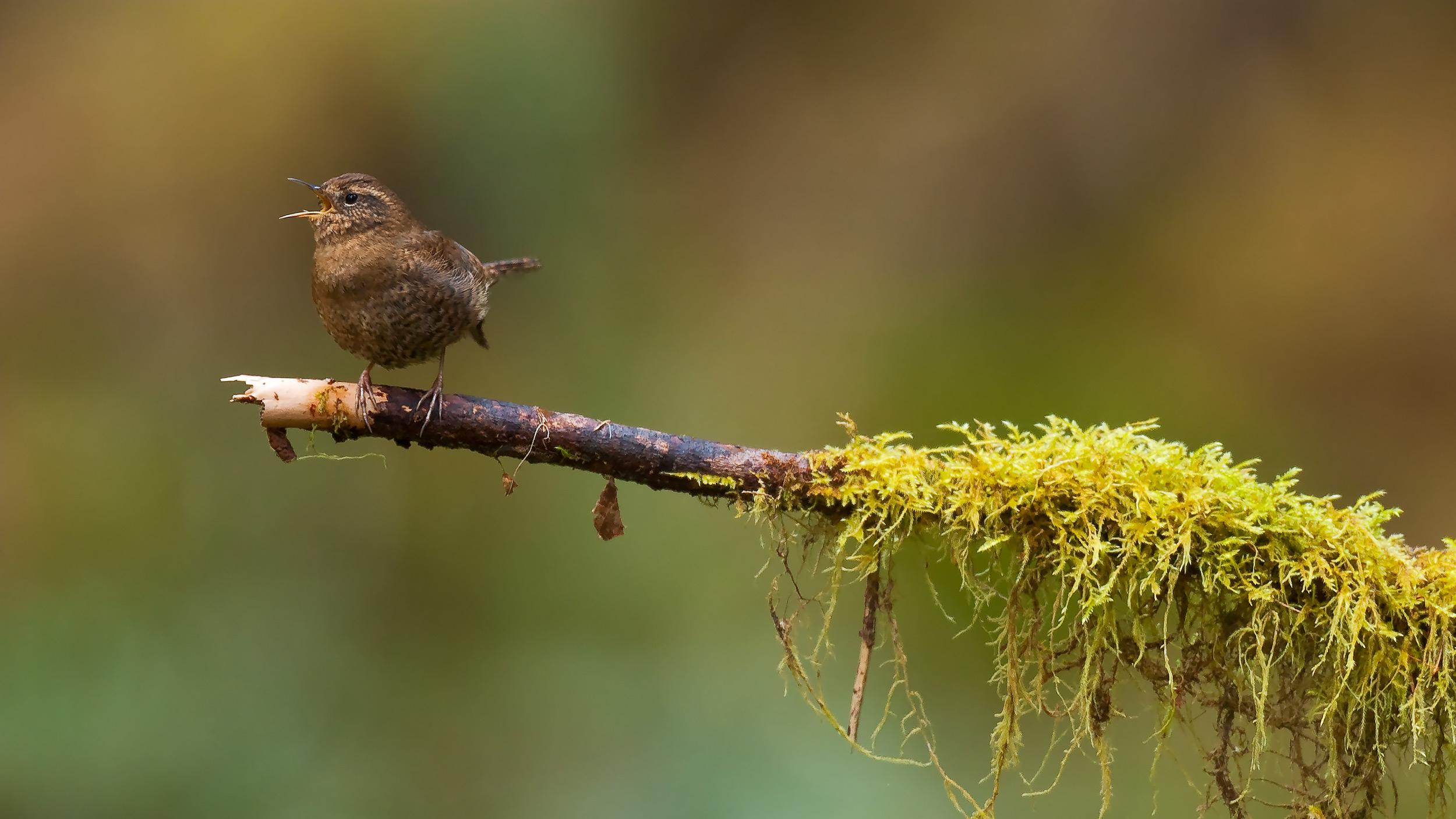 Winter Wren, Hoh Rain Forest, Olympic National Park, WA