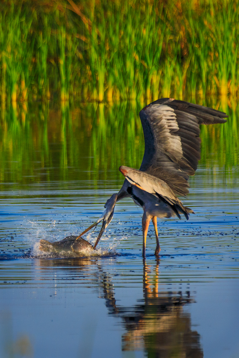 Great Blue Heron does the twist