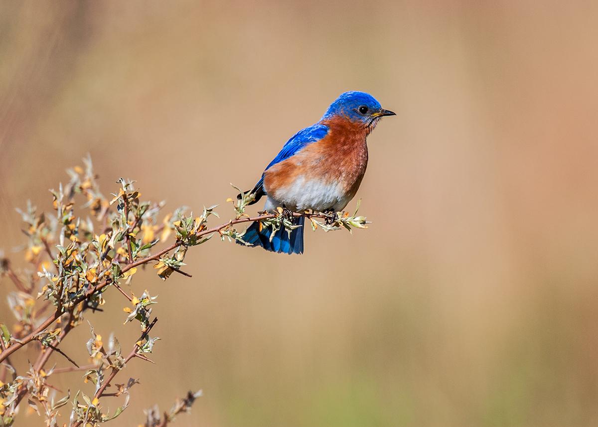 Bluebird at Channahon, Illinois