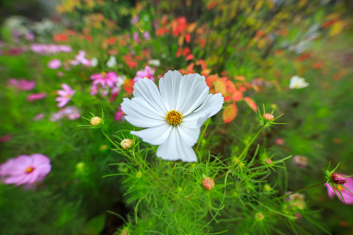 White Cosmos in the autumn
