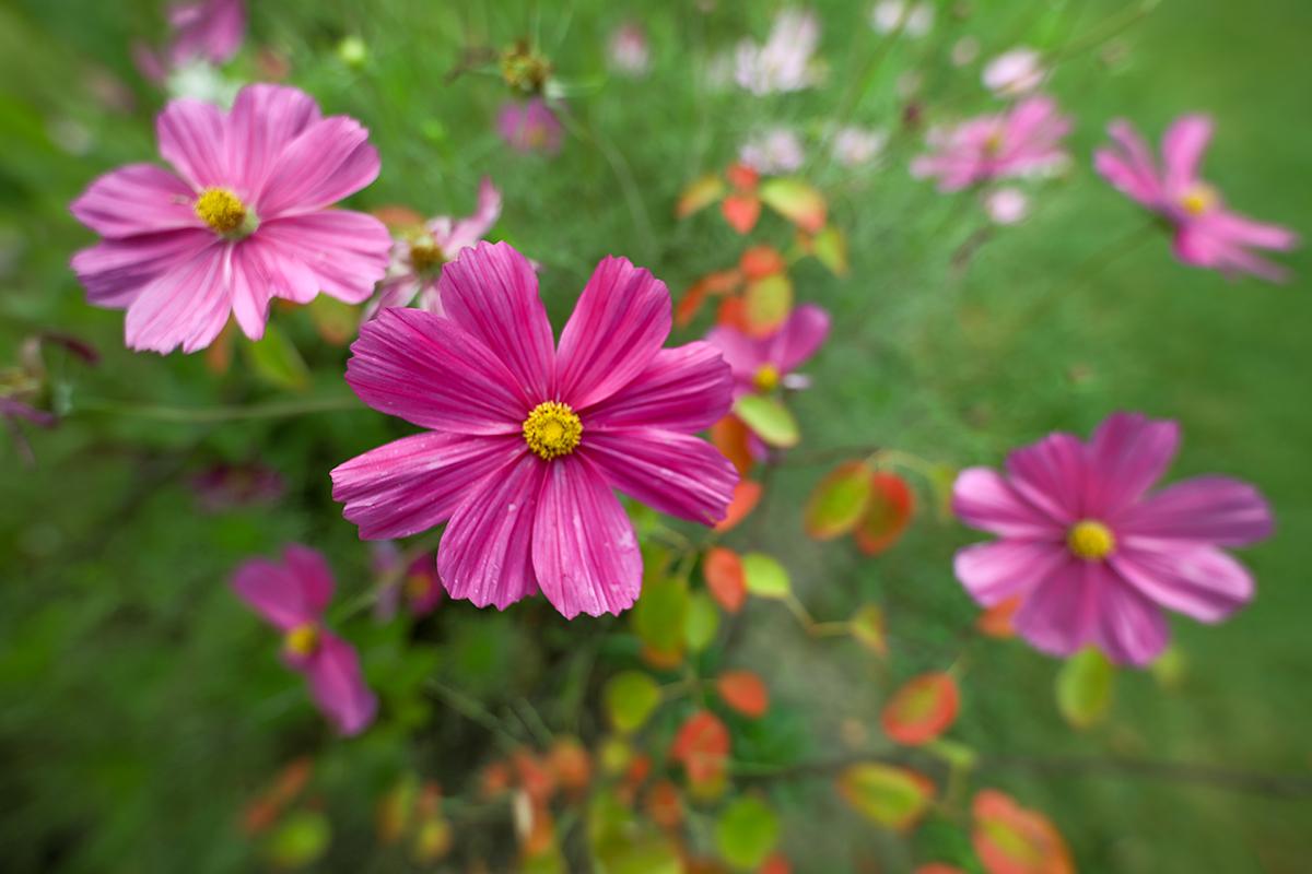 Purple Cosmos, Wilder Park
