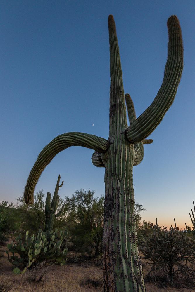 Giant Saguaro and tiny moon