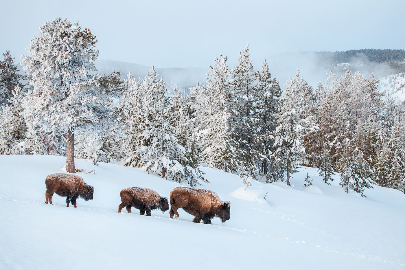 Bull and cows plow through the snow