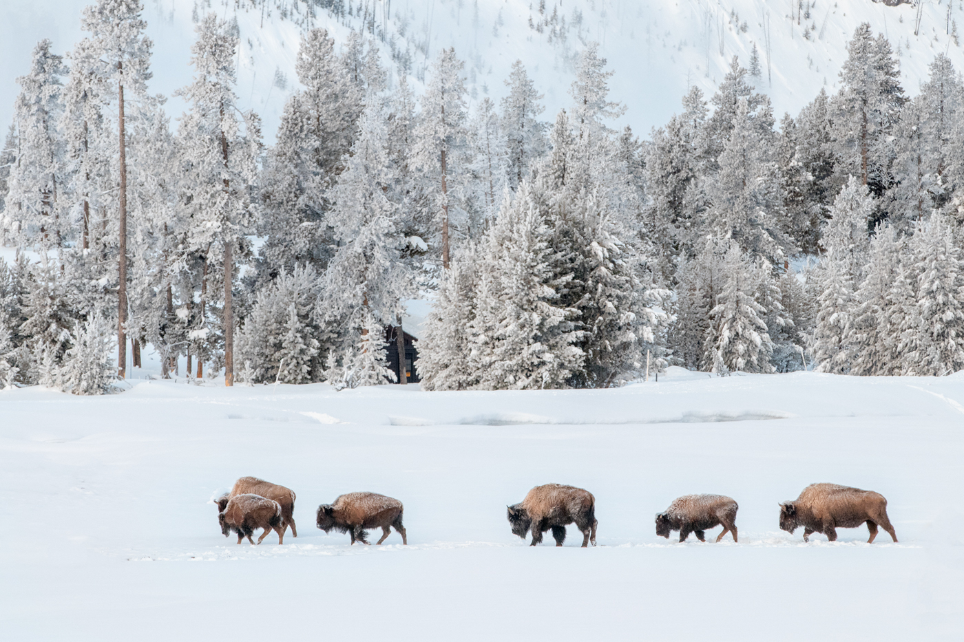 Winter line of bison, Yellowstone National Park, Wyoming