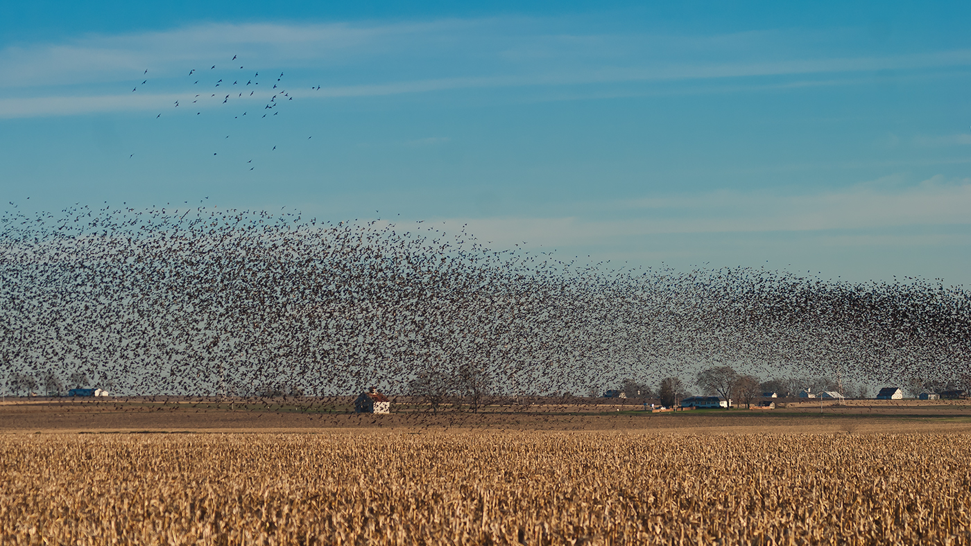 Blackbird murmuration, LaSalle County, Illinois