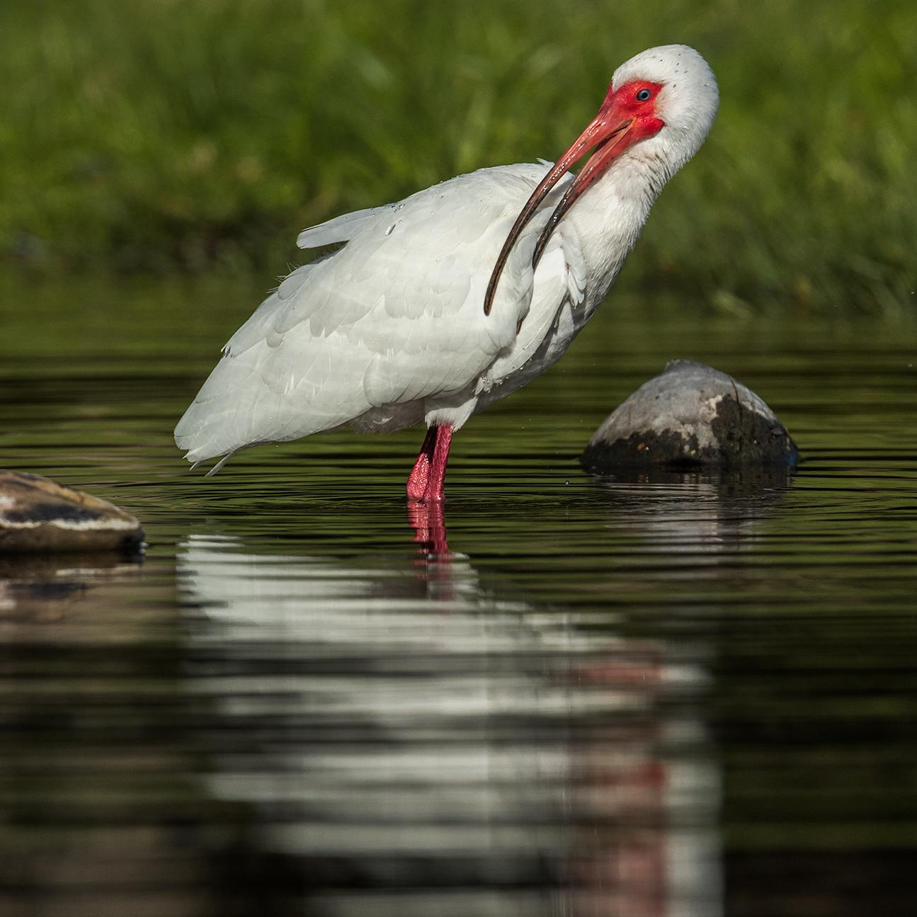 White Ibis preening