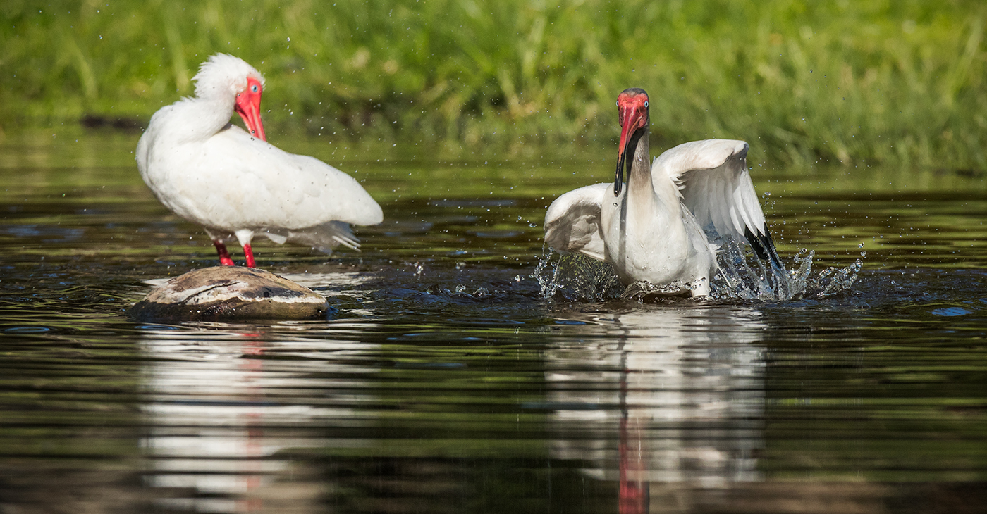 Adult and juvenile Ibis bathing