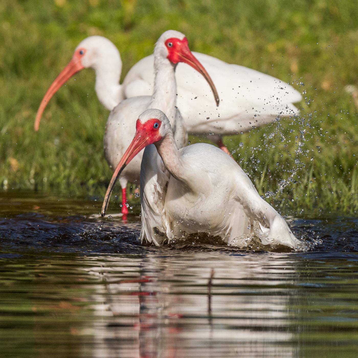 Bathing Ibis trio