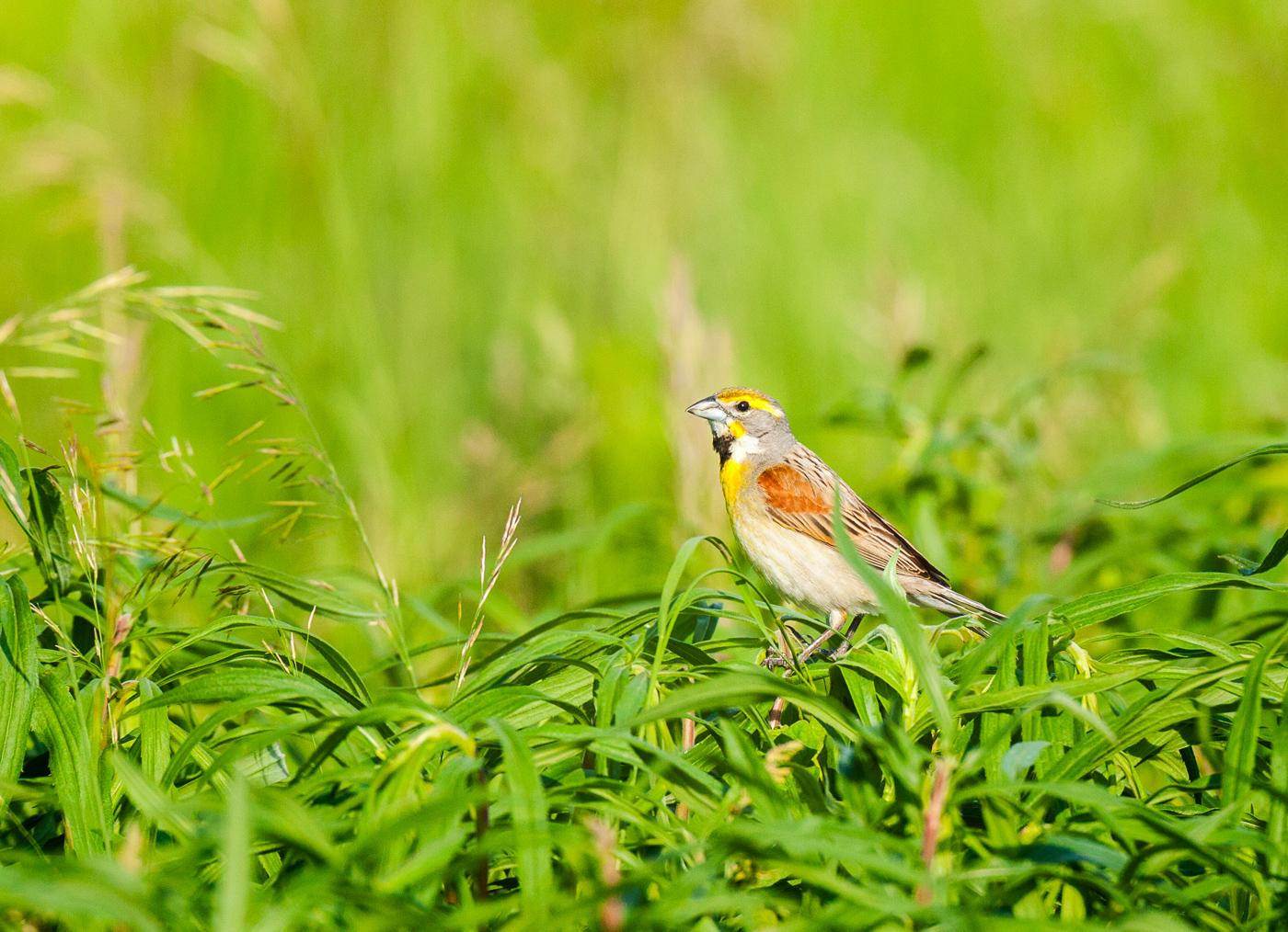 Dickessel in prairie grasses
