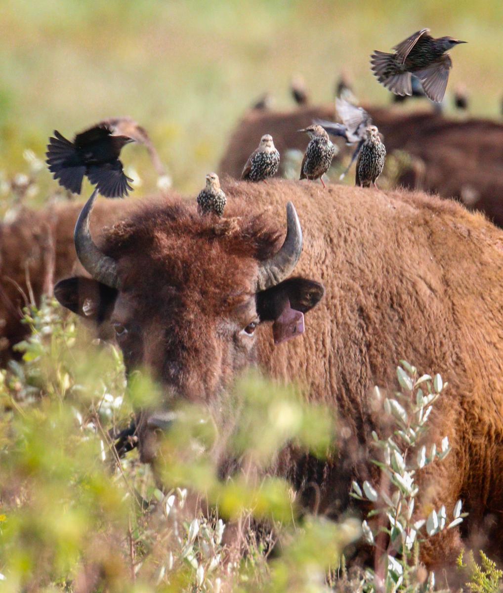 Cowbirds on Bison