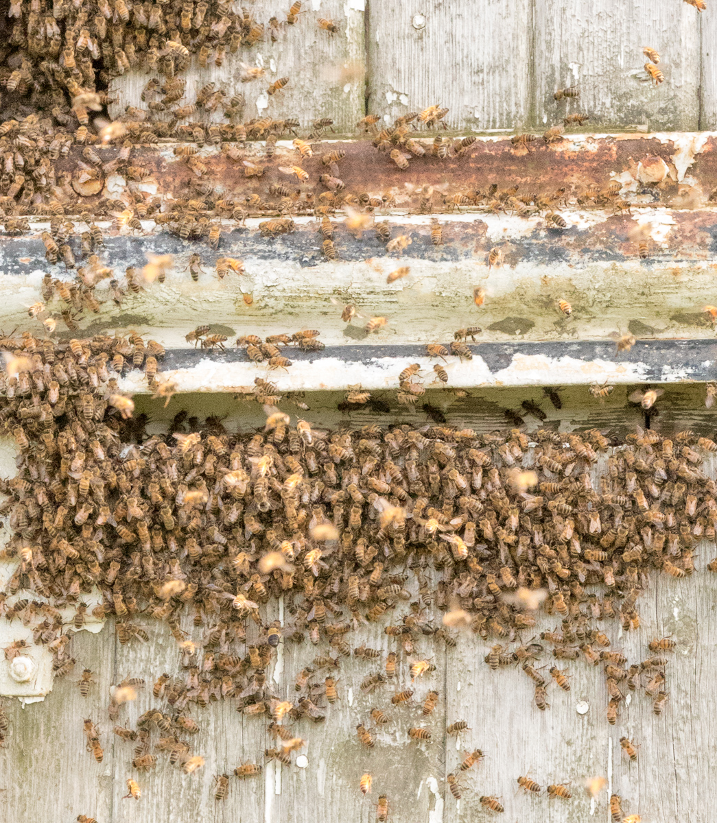 Honey bees finding a new home