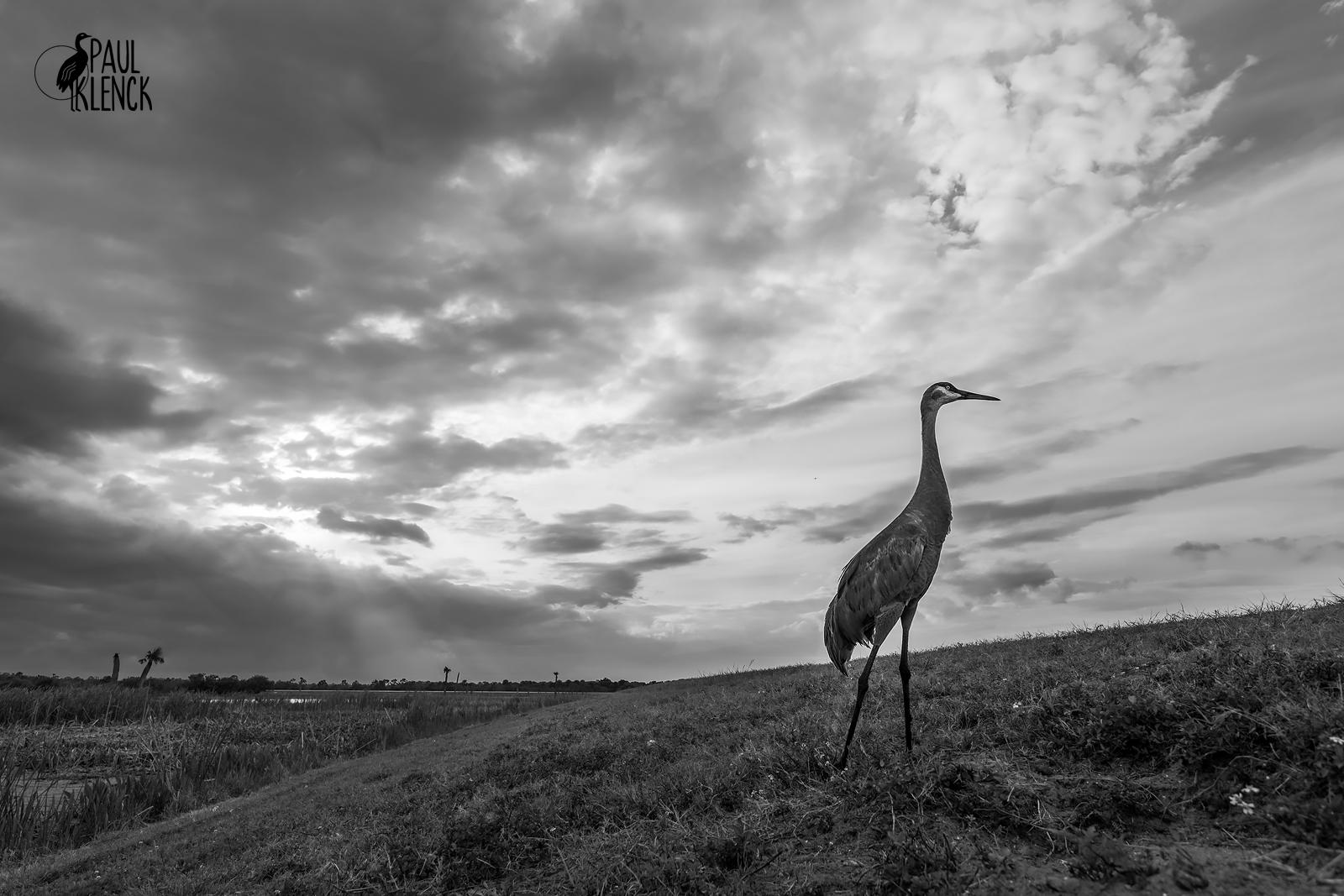 Sandhill Crane, Virgil Grissom Wetlands, Florida