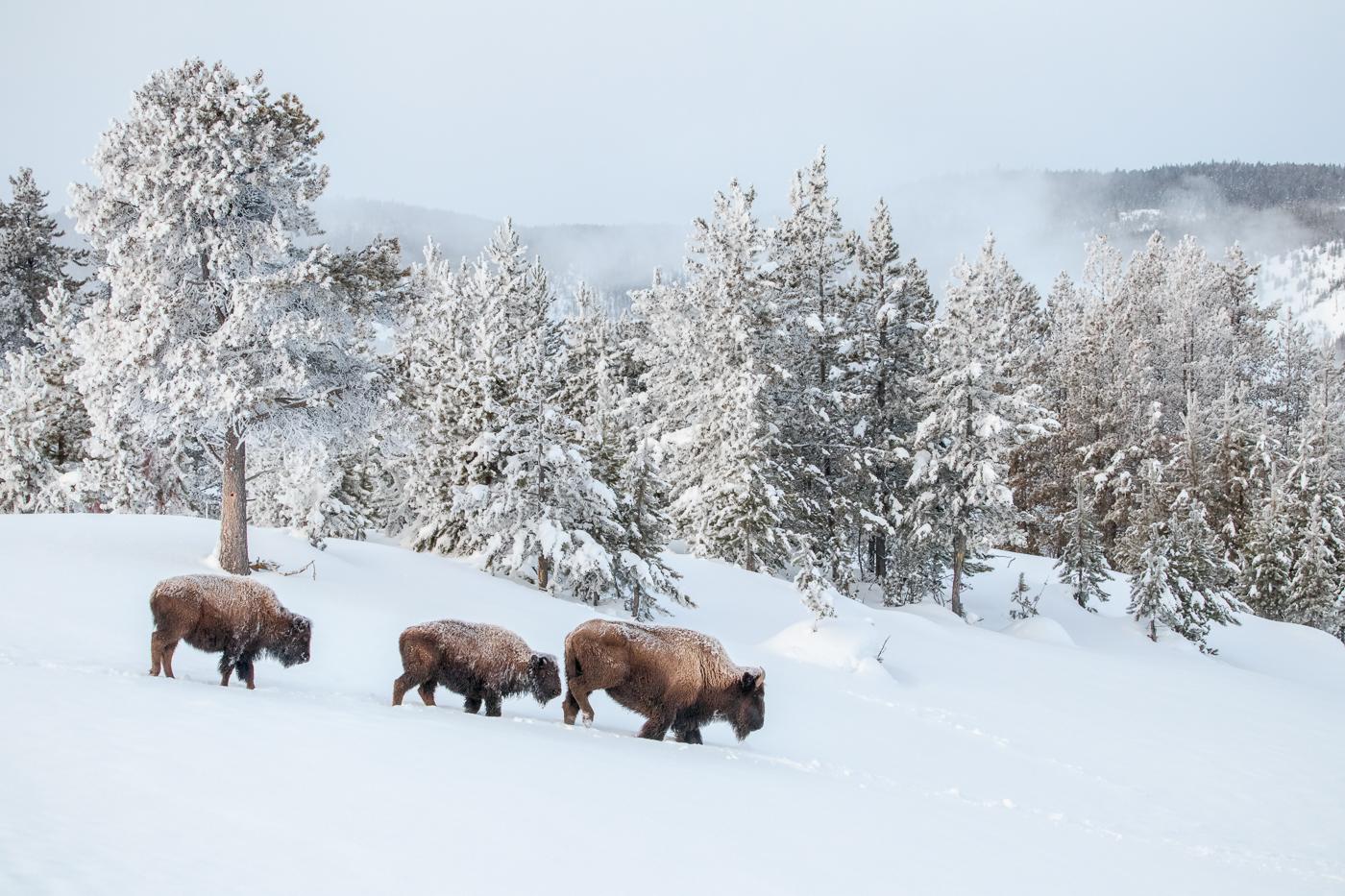 Bison trio, North Geyser basin