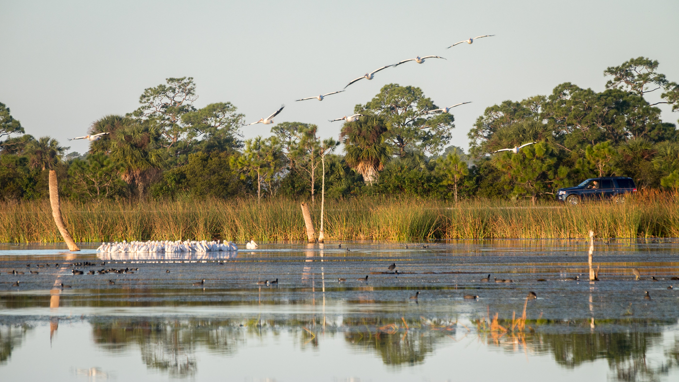 Viera wetland drive, White Pelicans, and American Coots