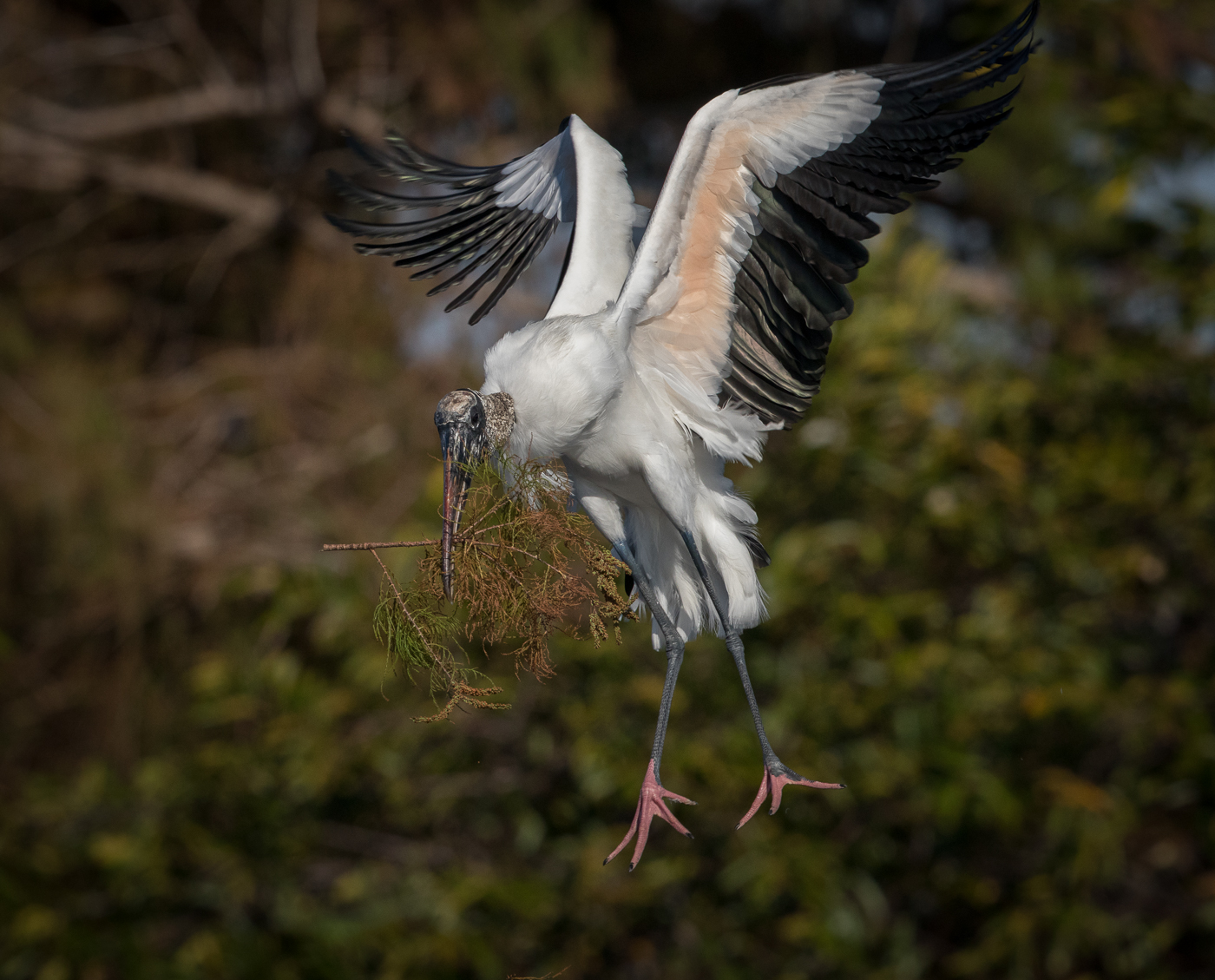 Woodstork bring in nesting material