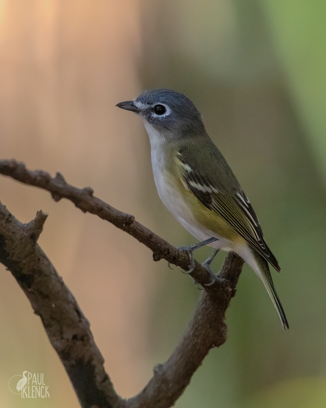 Blue-headed Vireo, Green Cay Wetlands, Florida
