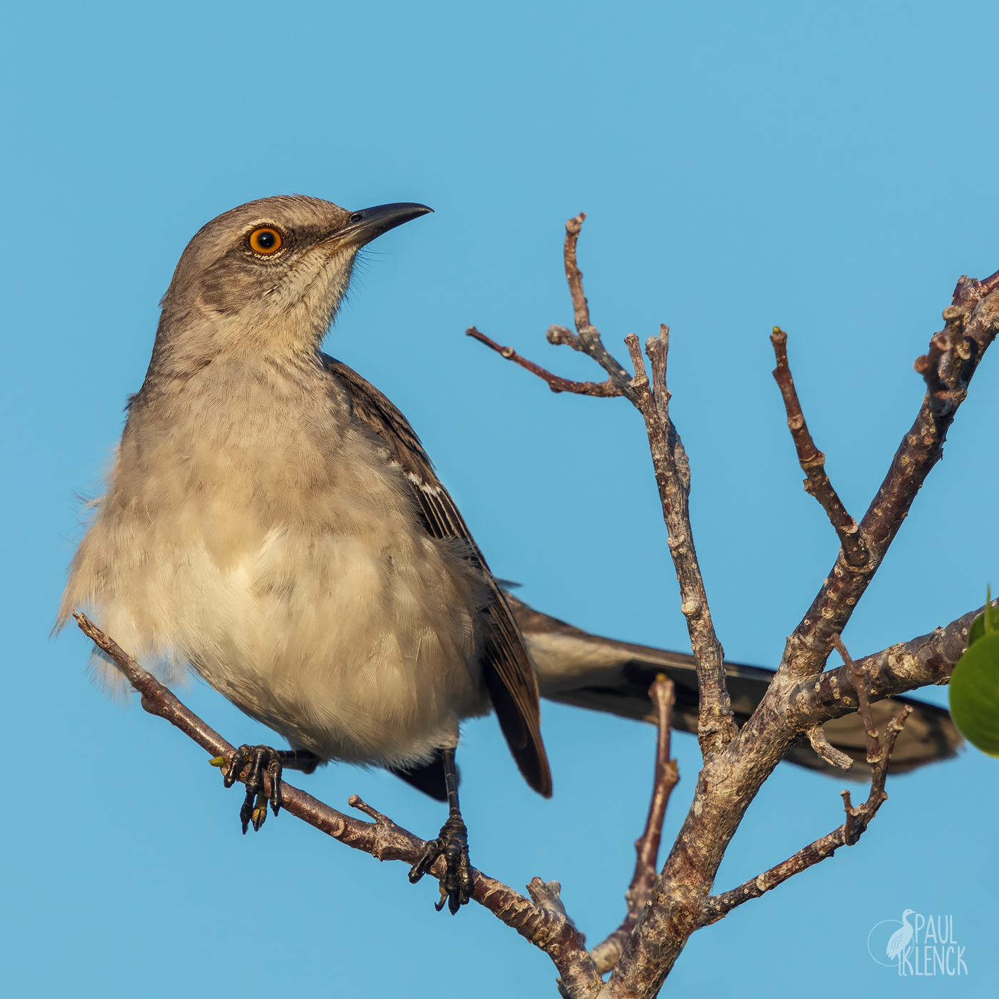Mockingbird, Anhinga Trail, Everglades National Park