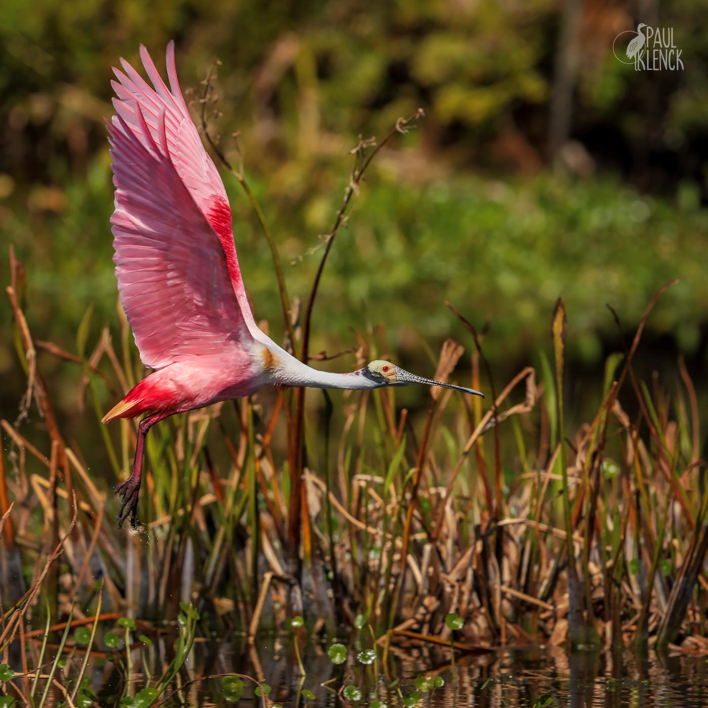 Roseate Spoonbill, Orlando Wetlands, Florida
