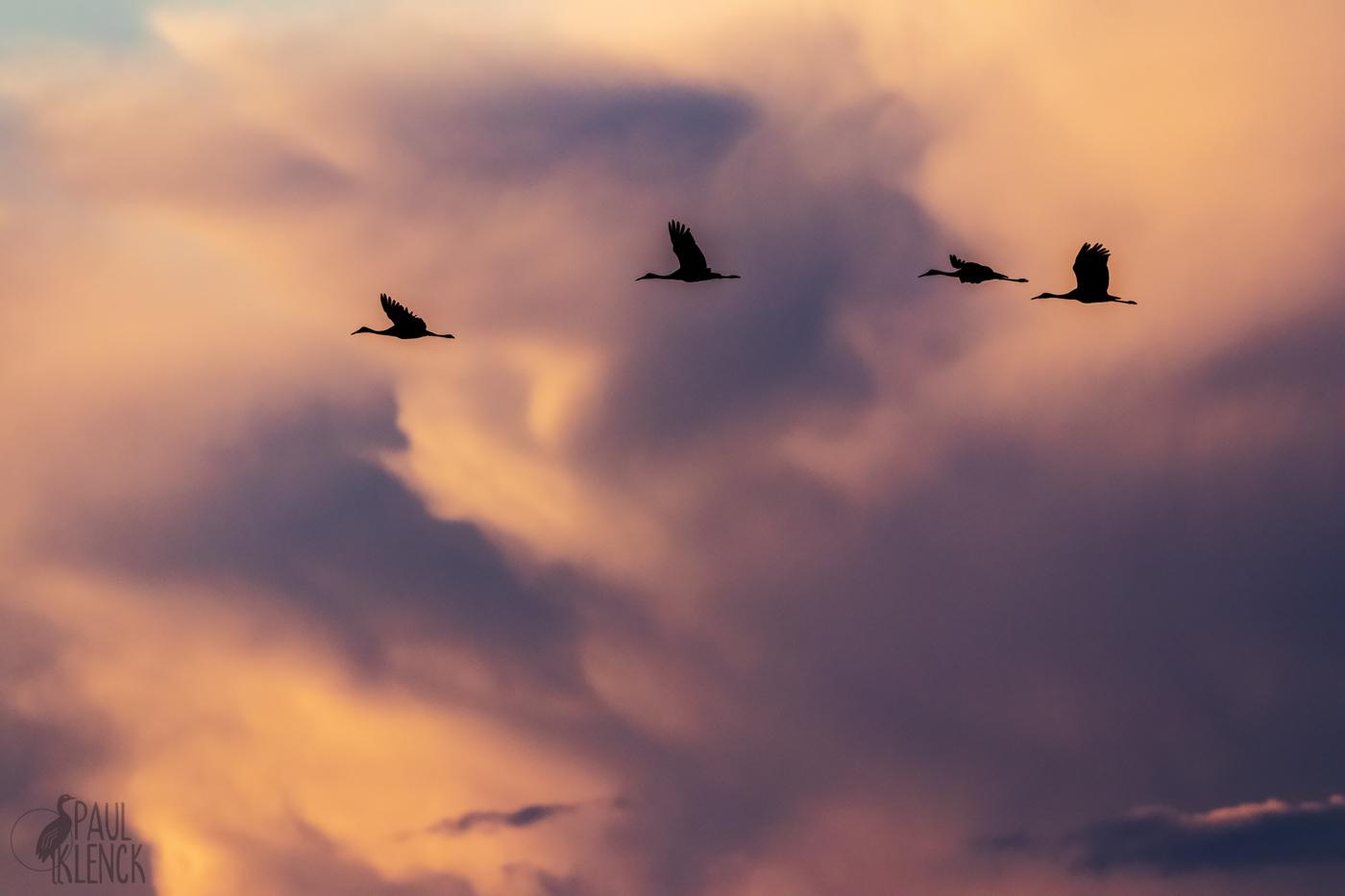 Sandhill Cranes silhouette, Viera Wetlands