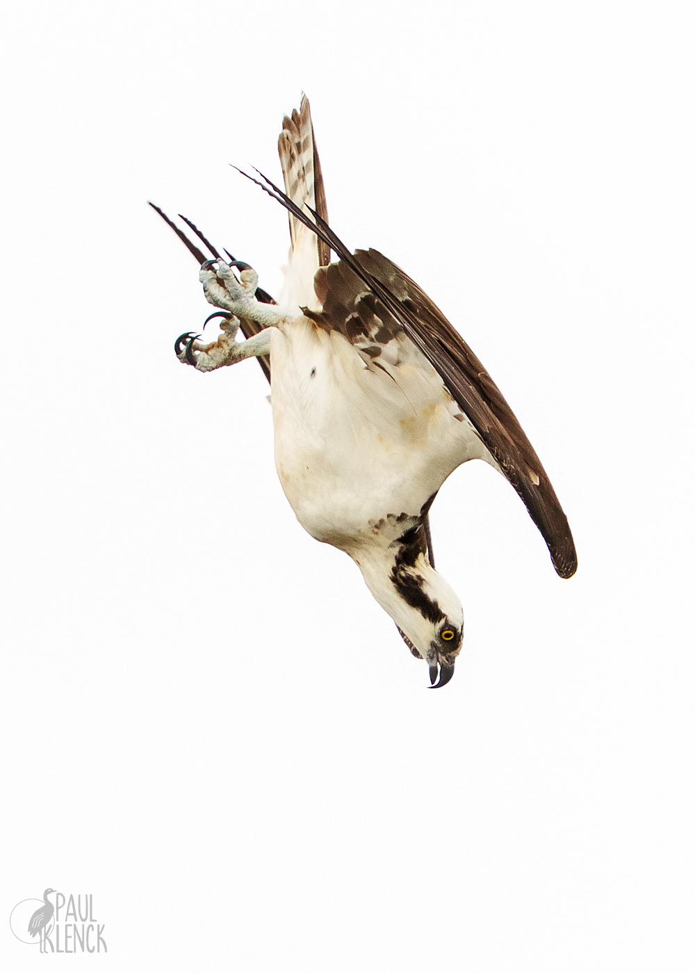 Osprey a/k/a Fishhawk, Goodwin Waterfowl Management Area, Brevard County, FL