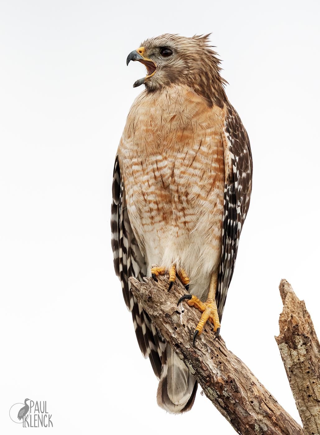 Red-shoulder hawk, Goodwin WMA