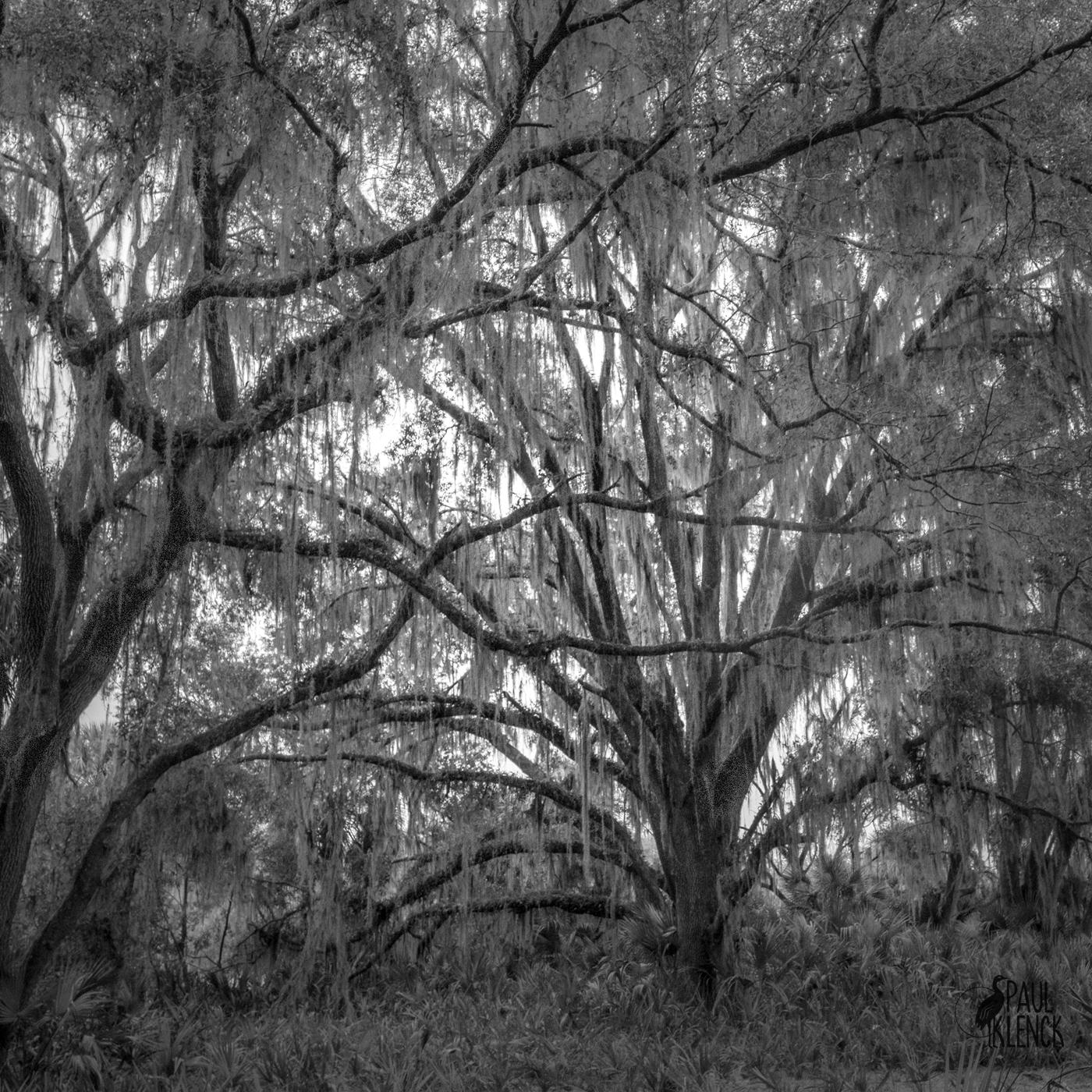 Oak, Paynes Prairie Preserve State Park, Florida