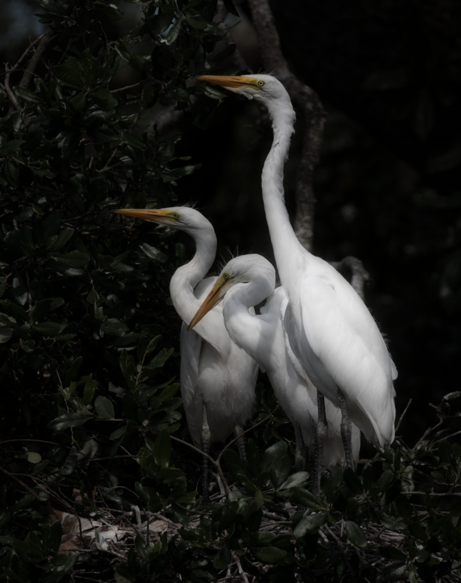 Great Egret trio, St. Augustine Alligator Farm