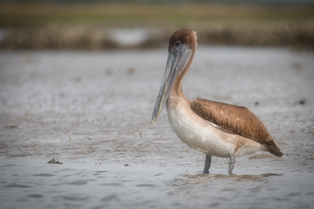 Juvenile Pelican, Matanzas River estuary