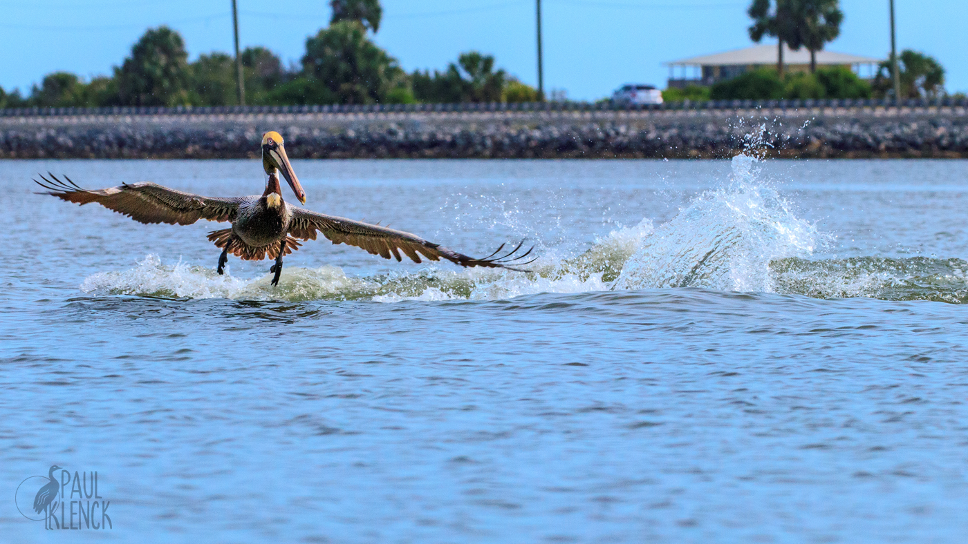 Pelican wake 1220.jpg