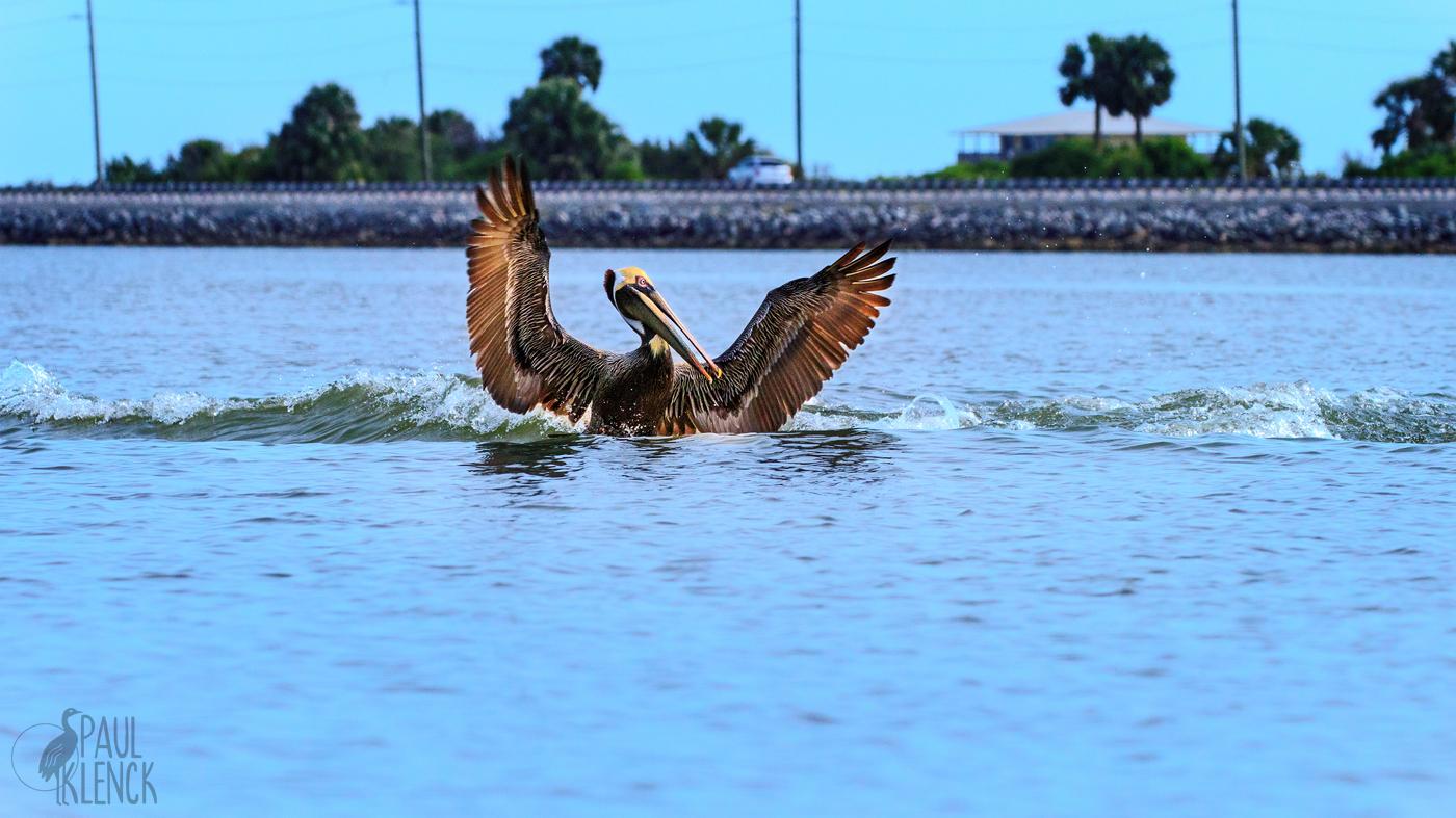 Pelican wake_1226.jpg