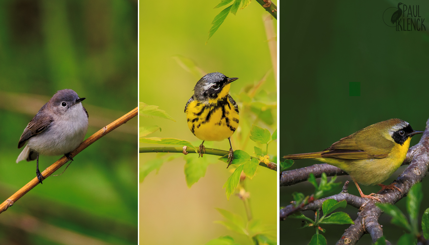 Blue-gray Gnatcatcher, Magnolia Warbler and Common Yellowthroat