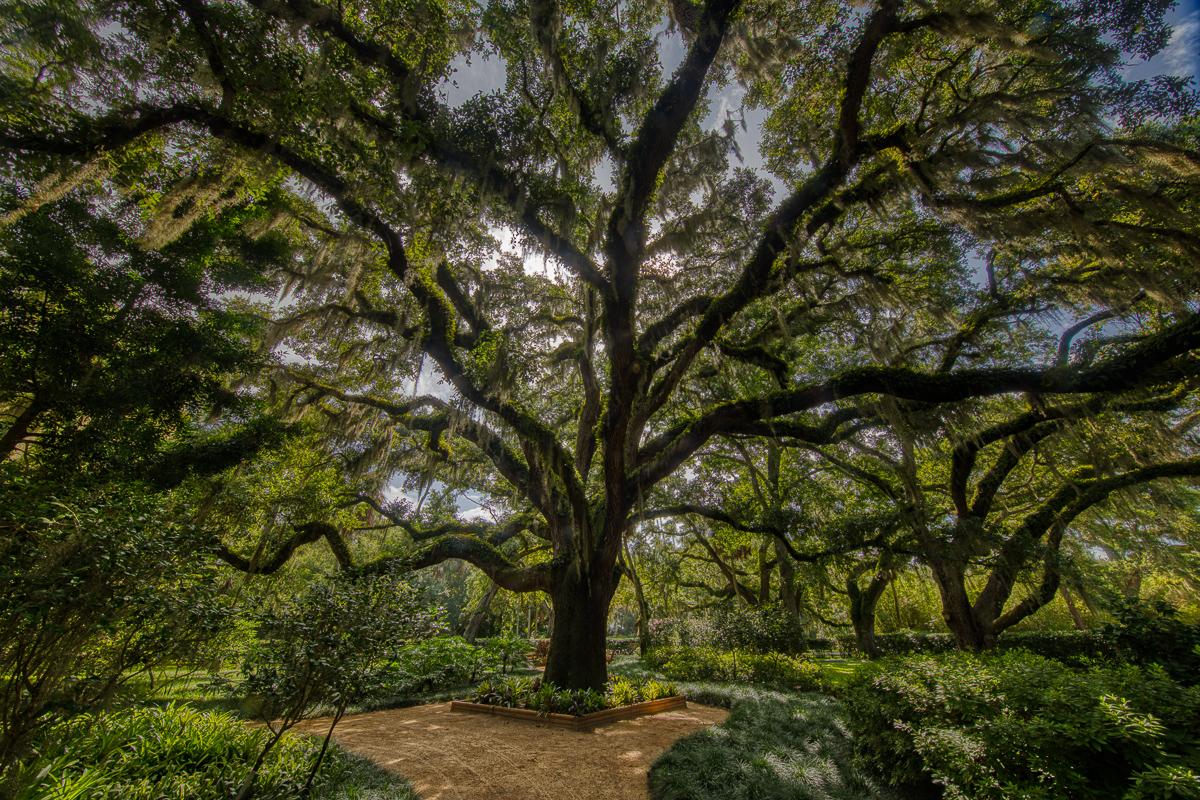 Washington Oaks Live oak-2.jpg