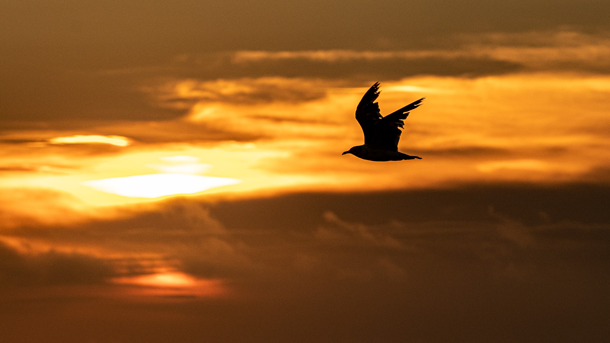 Fish jump seagull sunrise-8602.jpg