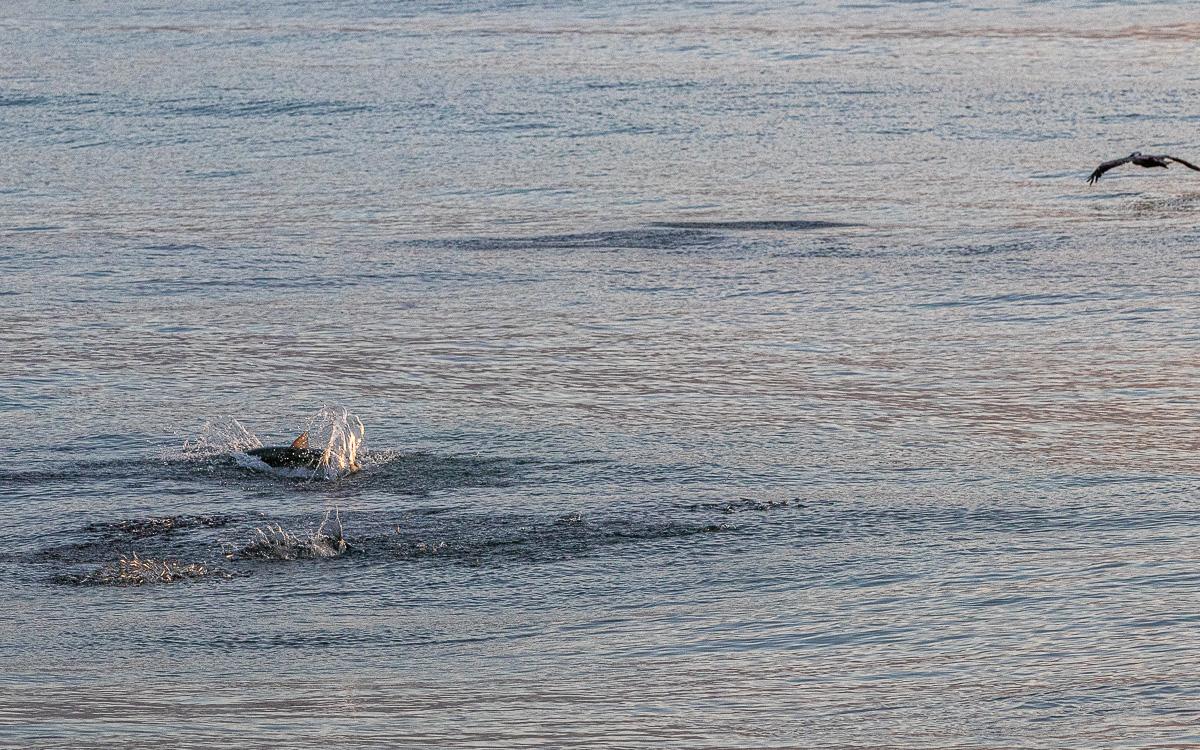Fish jump beach dolphin-8668.jpg