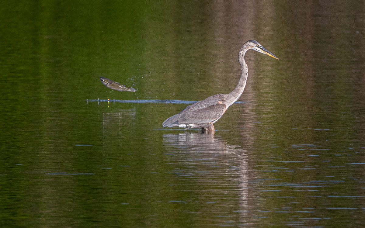 Fish jump Great Blue Heron-8368.jpg