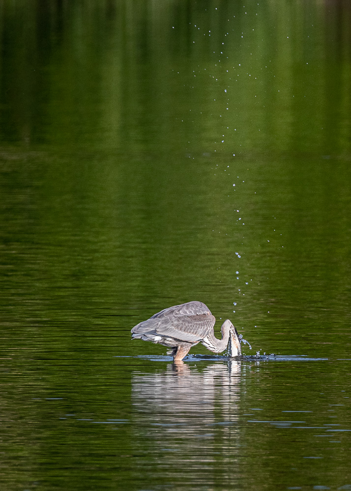 Fish jump Great Blue Heron-8347.jpg