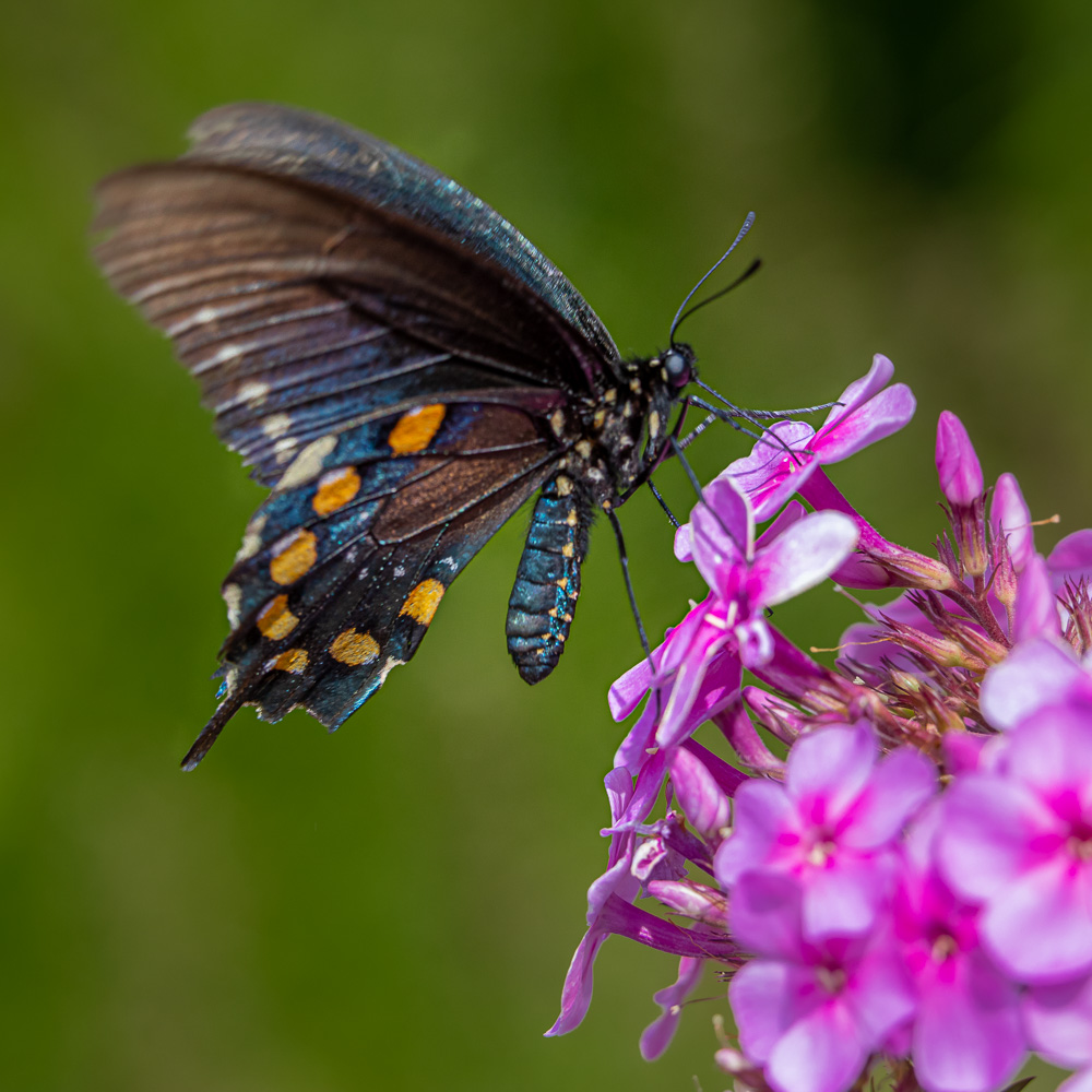 New River spicebush swallowtail-2273.jpg