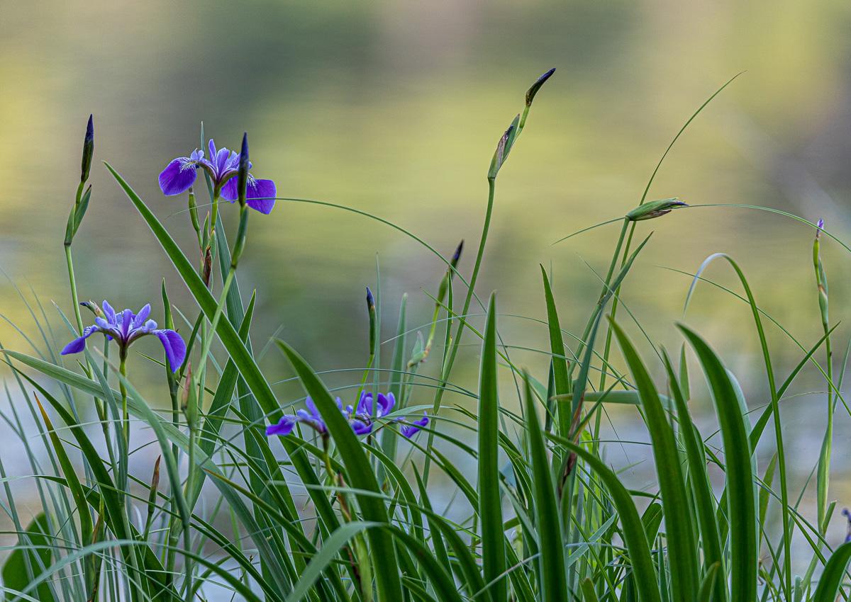Wisc lake Iris-7187.jpg