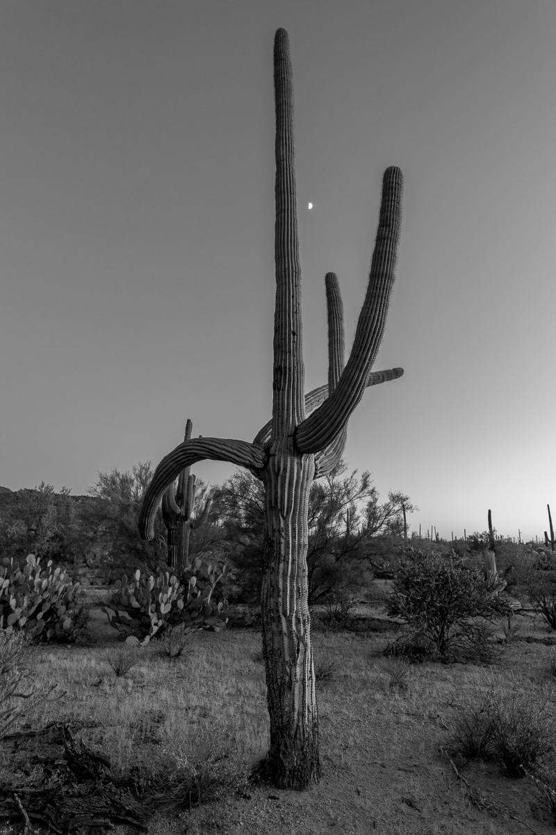 Dusk, Saguaro National Park, Arizona