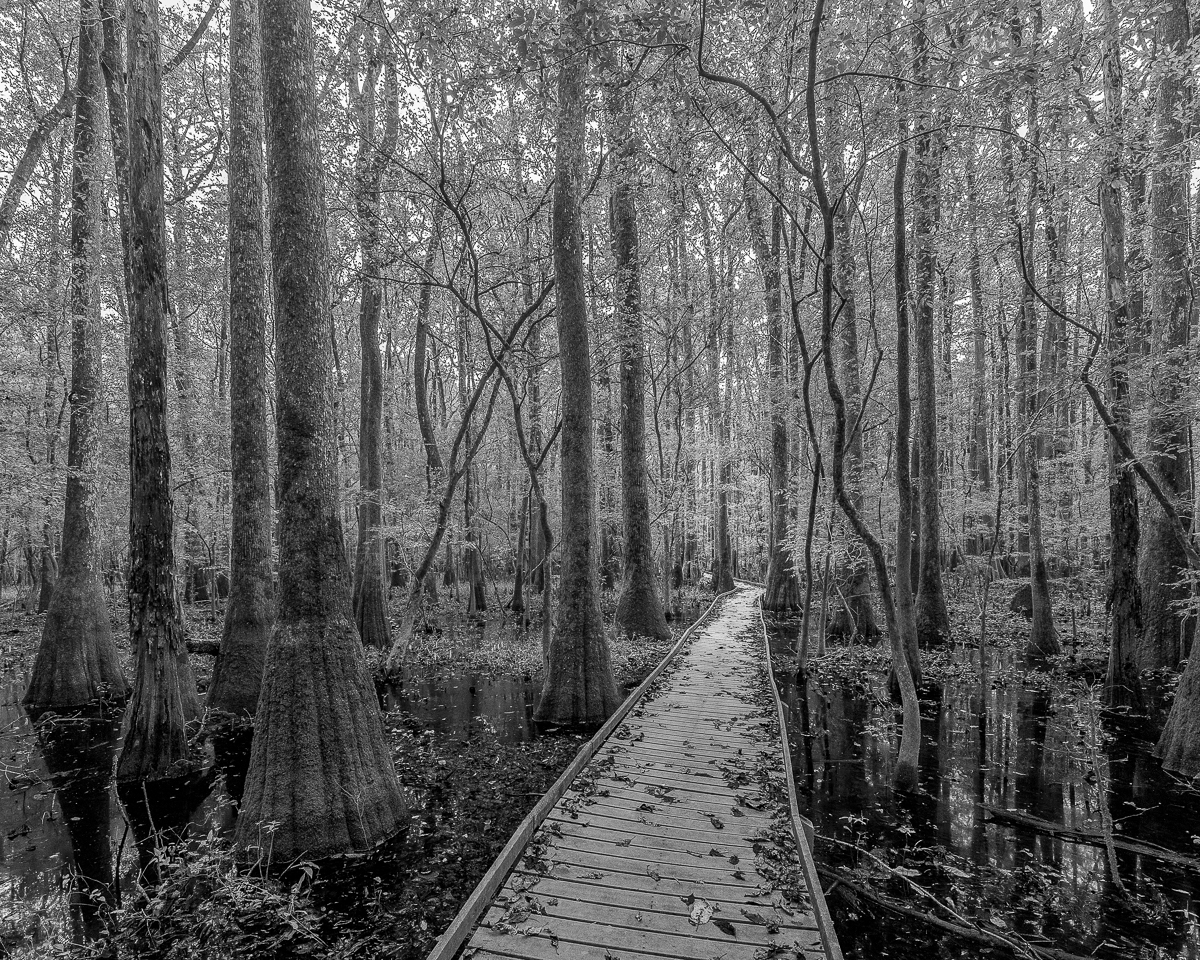 Tupelos along the boardwalk, Congaree National Park, South Carolina