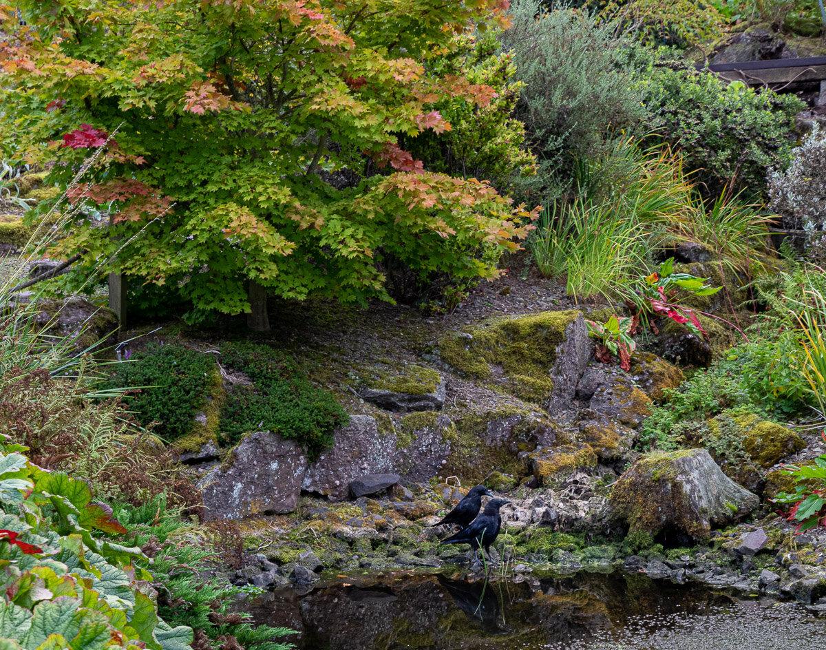 Ravens in the Japanese garden