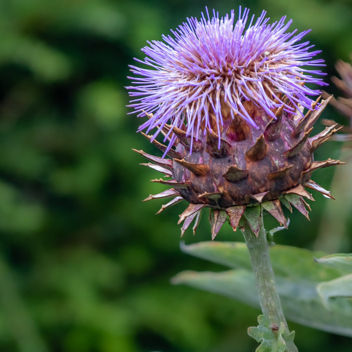 Thistle: National Symbol of Scotland
