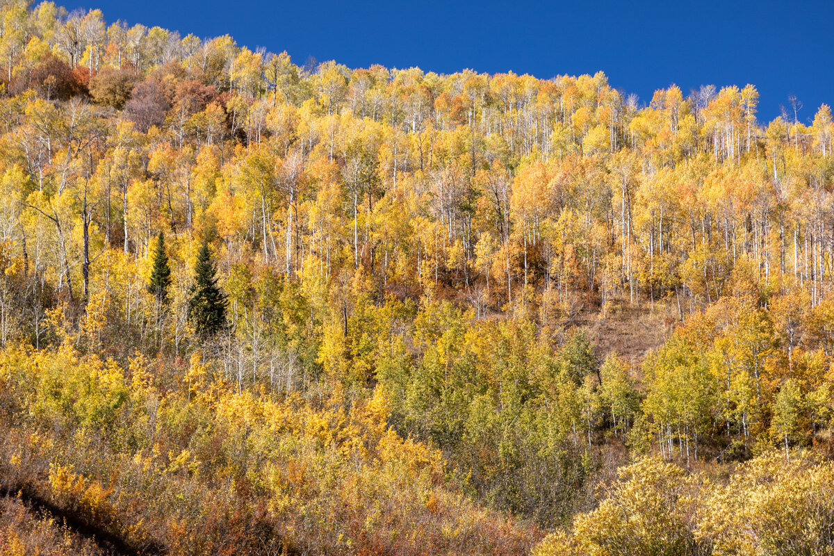 Aspen in Cache National Forest