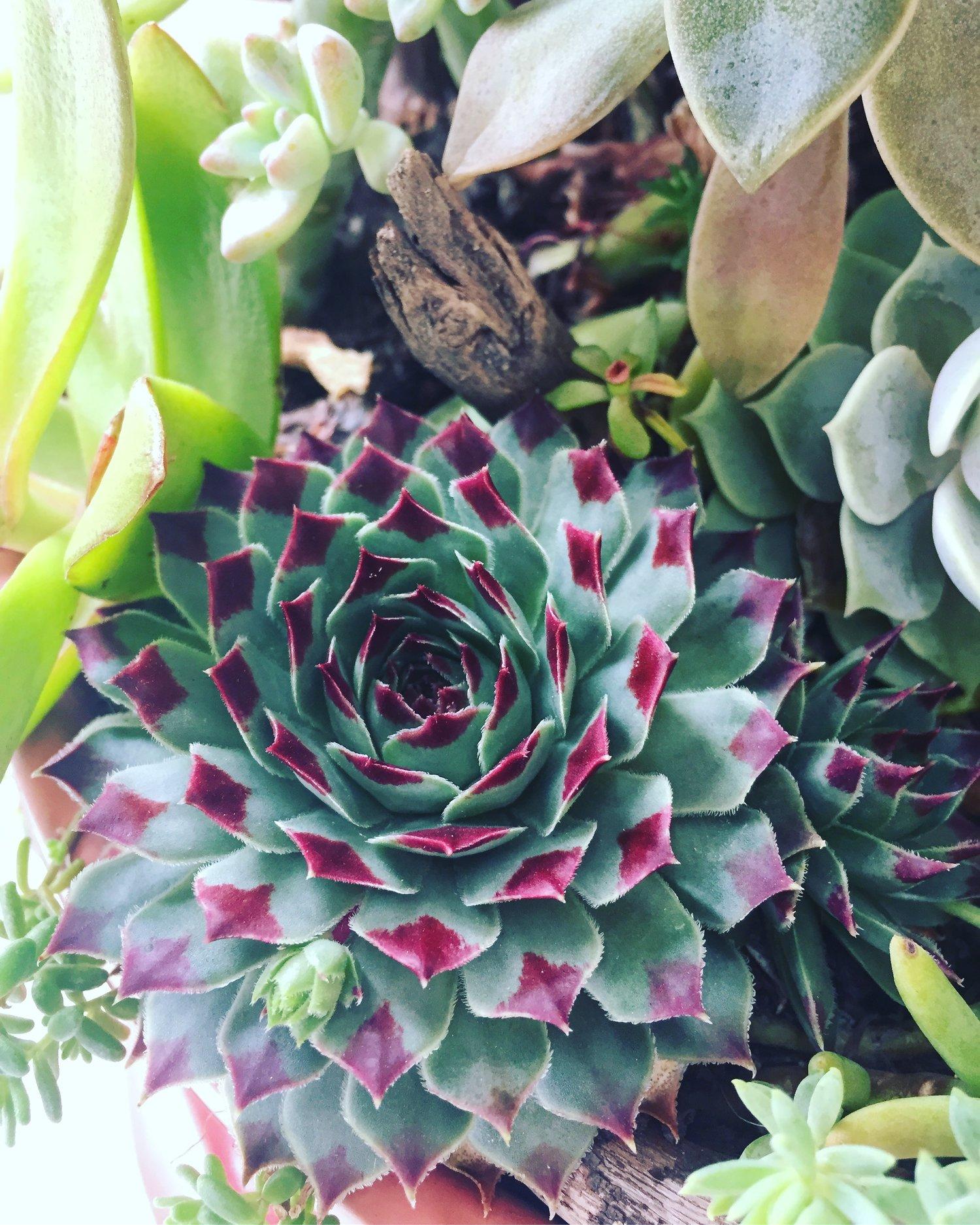 Succulent Care Infinite Succulent