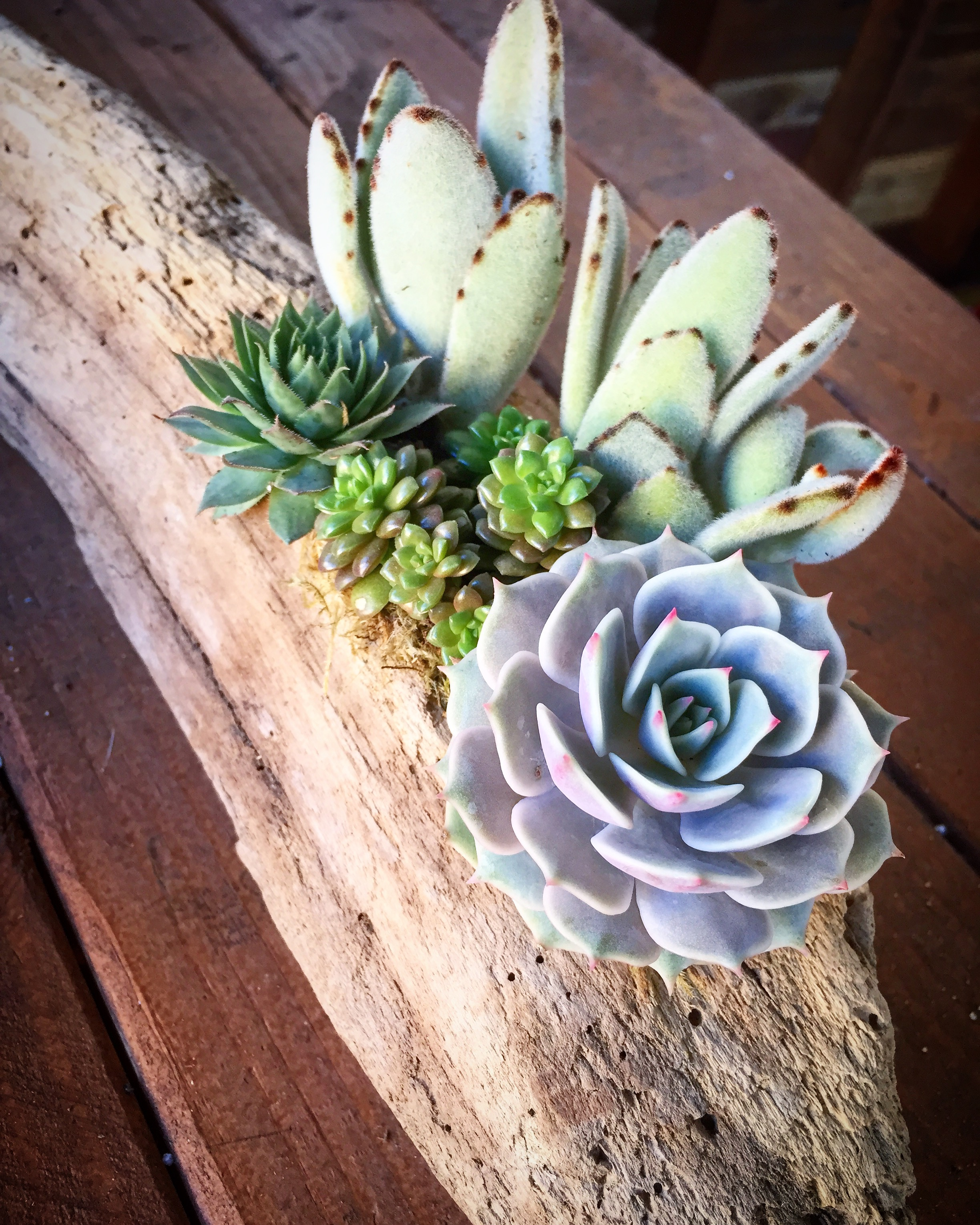 Succulents in Driftwood - Light:Outdoor or indoor; bright indirect lightWater:Water liberally once every 10 - 14 days. If very hot and dry water every 7-10 days.Maintenance:Remove any fallen, soggy or dried leaves.Remove any plants that might be failing asap (you can replace with a succulent clipping)If plant starts to look like its stretching out move to area with more light
