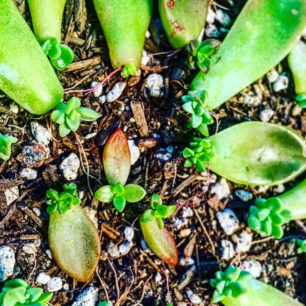 infinitesucculent_succulentsandparenthood 2016-03-08 06.43.42-1.jpg