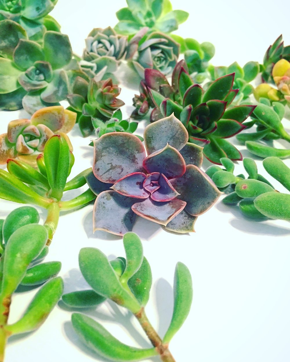 racahelcohen_succulentpropagation_howto.jpg